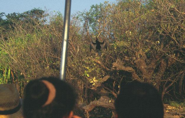 Vanaf de boot een slangehalsvogel (Australasian darter)
