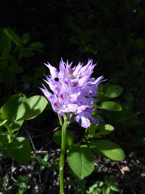 Drietandige orchis - Ochis tridentata