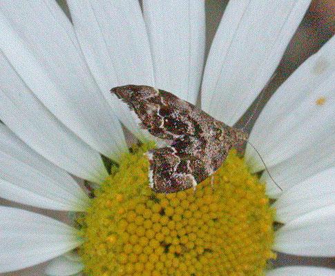 Anthophila fabriciana - Brandnetelmotje