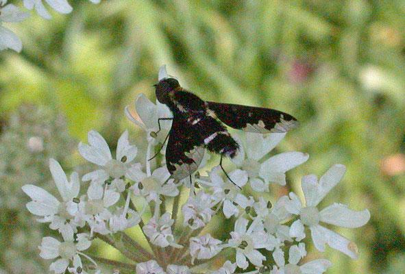 Hemipenthes maura - Bretelrouwzwever