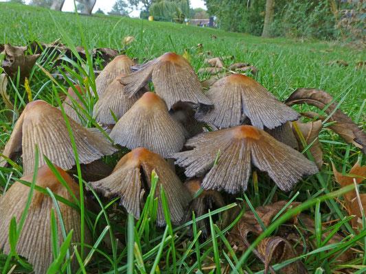 Coprinellus truncorum - Gladstelige glimmerinktzwam