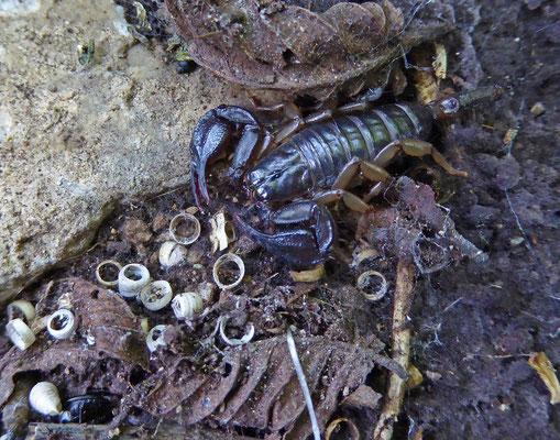 Euscorpius hadzii/italicus