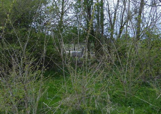 Alpaca aan de rand van de tuin