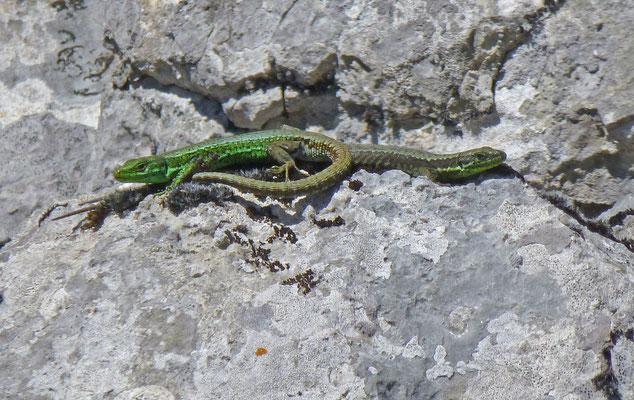 Iberolacerta monticola - Iberische berghagedis