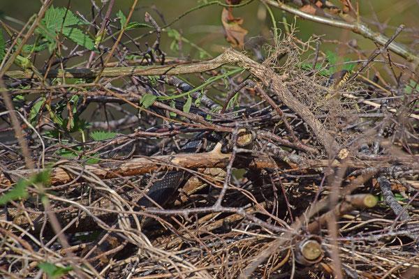 Russische rattenslang (Elaphe schrenki)
