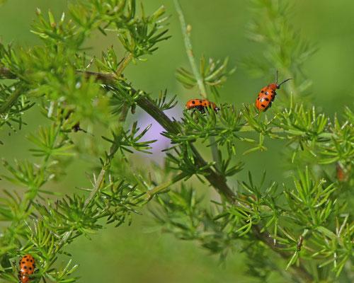 Crioceris duodecimpunctata - Rode aspergekever