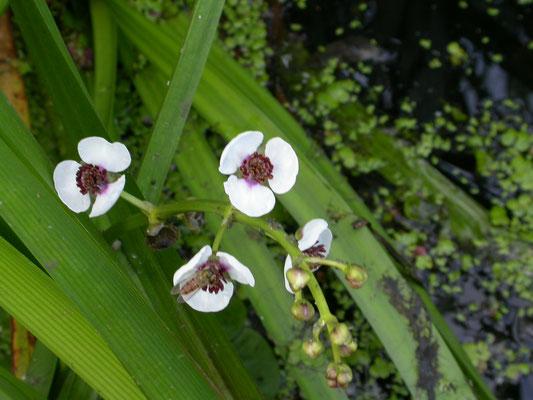 Sagittaria sagittifolia - Pijlkruid
