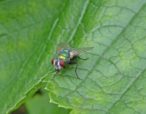 Lucilia species - groene vleesvlieg