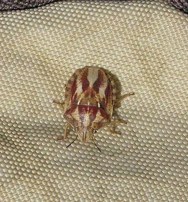 Eurygaster testudinaria - Gewone pantserwants