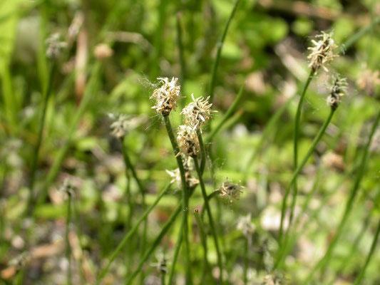 Eleocharis quinqueflora - Armbloemige waterbies