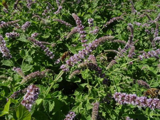 Mentha longifolia - Hertsmunt