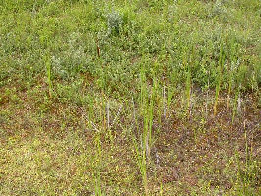 Typha angustifolia - Kleine lisdodde