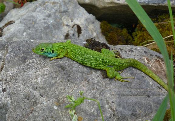 Lacerta bilineata - Westelijke smaragdhagedis