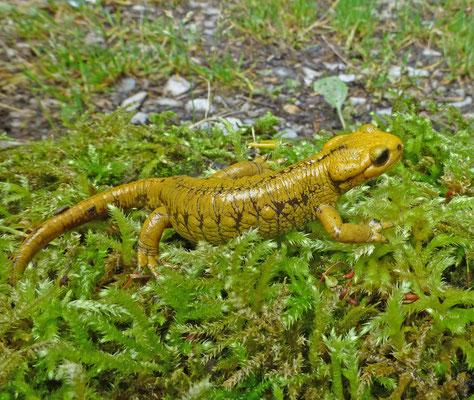 Salamandra salamandra bernardezi forma alfredschmidti