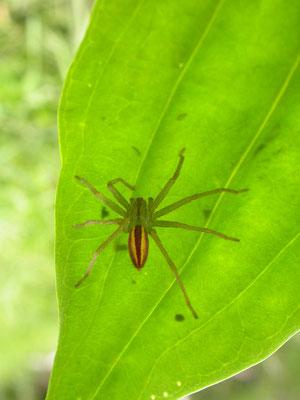 groene jachtspin (Micromata virescens)