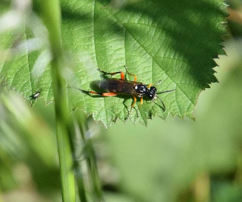 Macrophya rufipes