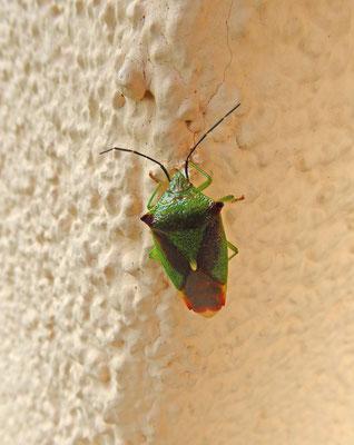 Acanthosoma haemorrhoidale - Meidoornkielwants