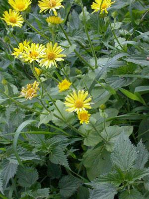 Doronicum pardalianches - Hartbladzonnebloem