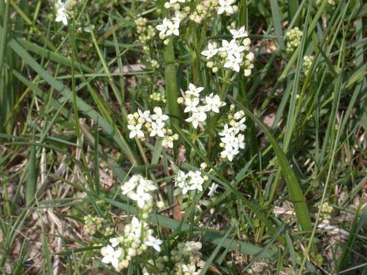 Galium saxatile - Liggend walstro