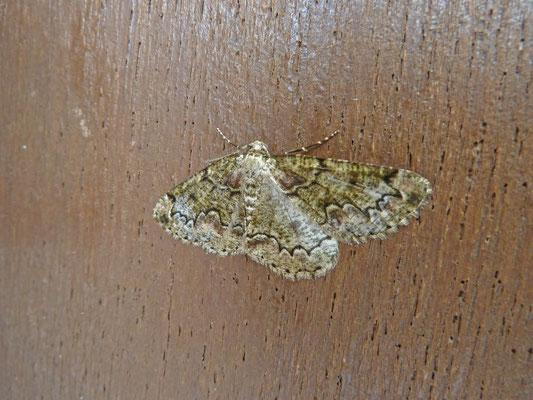 Cleorodes lichenaria - Korstmosspanner