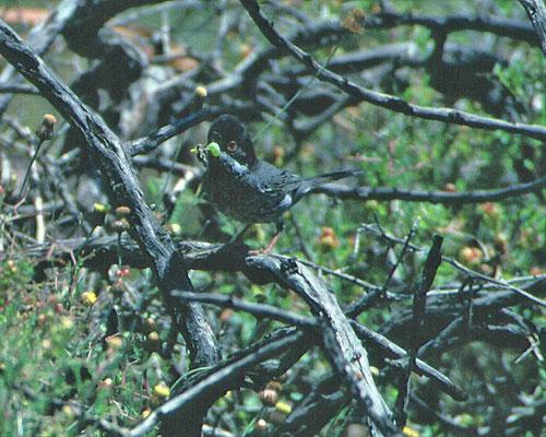 Cyprusgrasmus