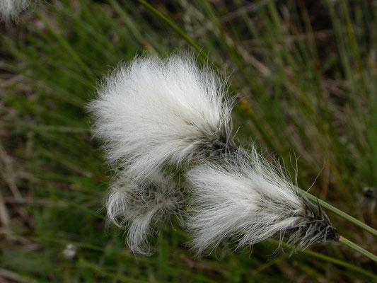 Eriophorum vaginatum - Eenarig wollegras