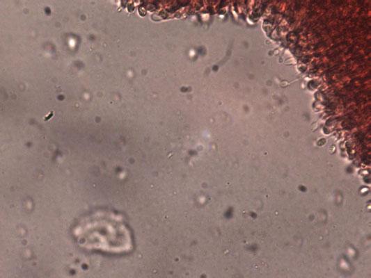 Clavulinopsis luteoalba - Verblekende knotszwam