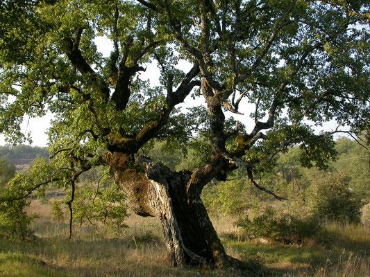 Quercus pubescens - Donzige eik