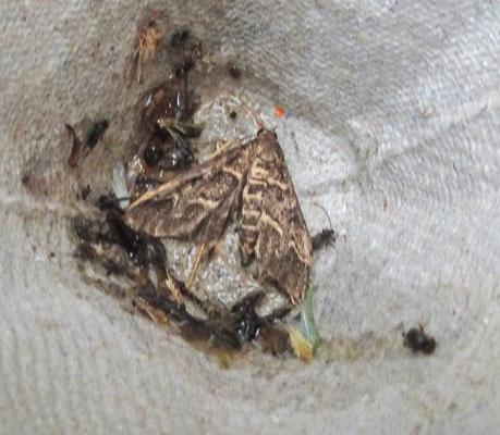 Duponchelia fovealis - Duponcheliamot