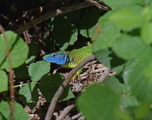 Westelijke smaragdhagedis (Lacerta bilineata)