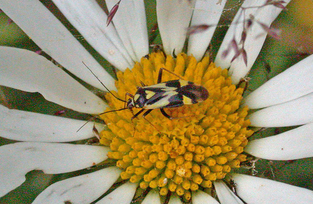 Calocoris sexguttatus