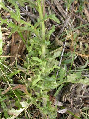 Senecio sylvaticus - Boskruiskruid