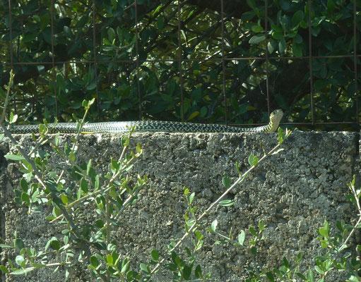 Geelgroene toornslang