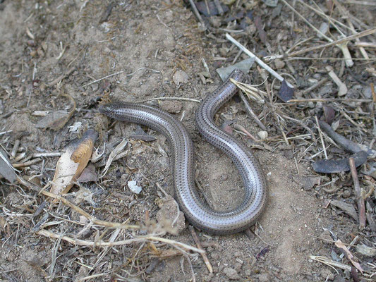 Ophiomorus punctatissimus (gevlekte slangskink)