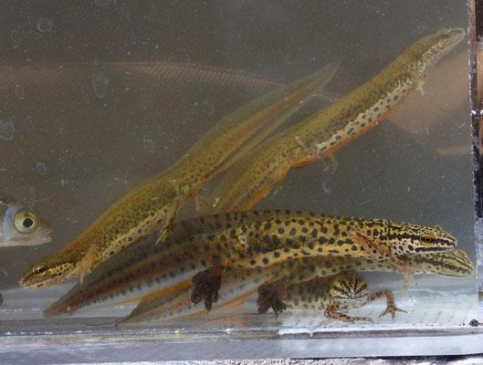 Kleine watersalamander (Lissotriton vulgaris graeca)