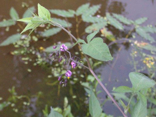 Solanum dulcamara - Bitterzoet