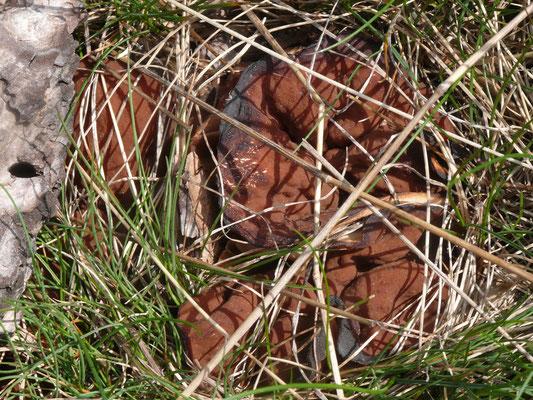 grote voorjaarsbekerzwam (Discina ancilis)