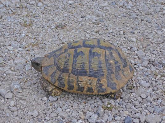 Griekse landschildpad (Testudo hermanni boettgeri)