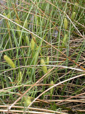 Carex vesicaria - Blaaszegge