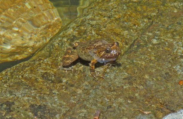 Discoglossus montalentii - Corsicaanse schijftongkikker