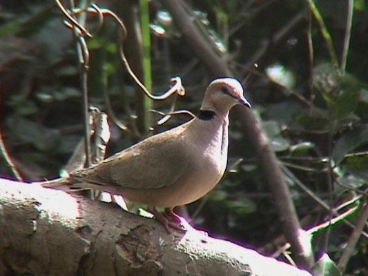 Vinaceous Dove