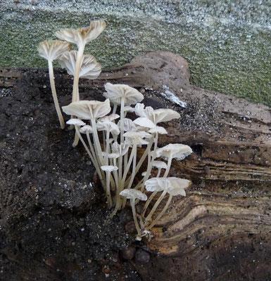 Mycena speirea - Kleine breedplaatmycena