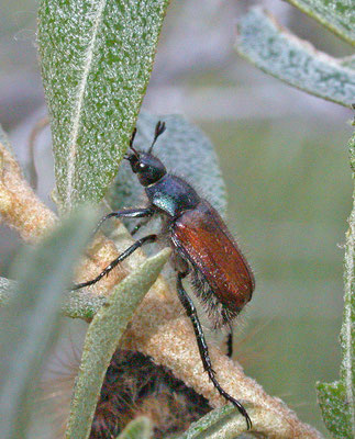 Phyllopertha horticola - Rozenkevertje