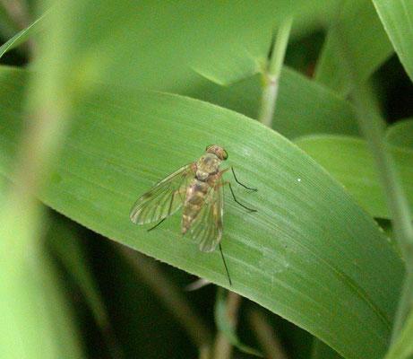 Chrysopilus asiliformis - Geelpootschubsnipvlieg