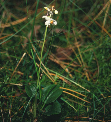 Pyrola rotundifolia - Rondbladig wintergroen