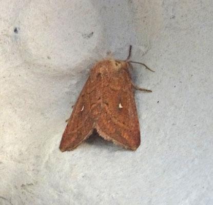 Mythimna albipuncta - Witstipgrasuil
