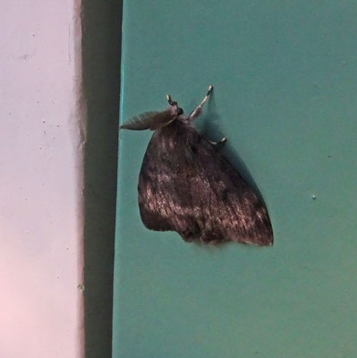 Lymantria dispar - Plakker