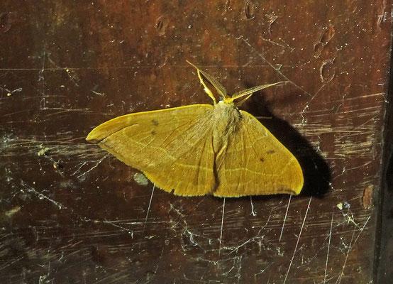 Watsonalla binaria - Gele eenstaart