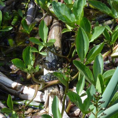 Pelophylax ridibunda (meerkikker)