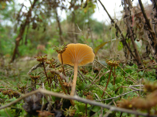 Loreleia (Omphalina) postii - Oranjerood trechtertje